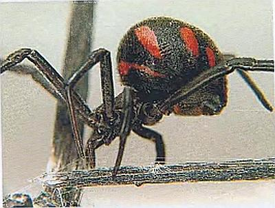 каракурт рода Latrodectus — «Черная вдова»