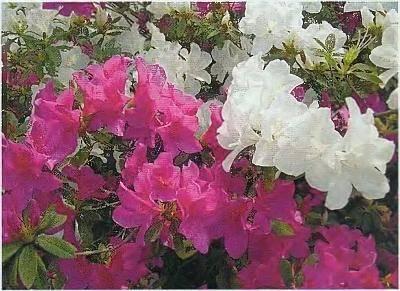 Рододендрон даурский (Rhododendron dawicum)