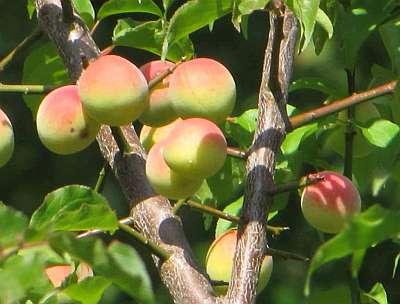 Японский абрикос предотвращает хронический атрофический гастрит